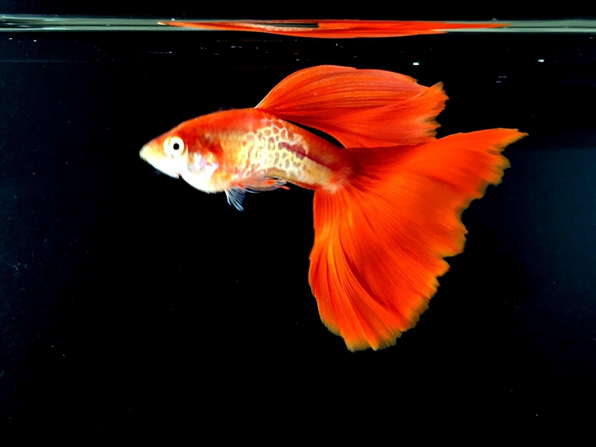 Pin by Taher Afquir on fish | Pinterest | Guppy