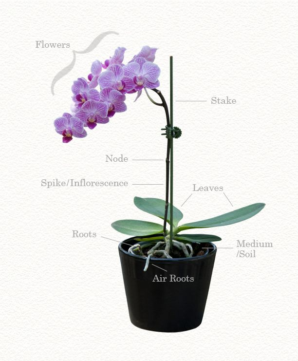 Growing Orchids Anatomy Terms Orchid Care Phalaenopsis Orchid Care Growing Orchids Orchid Seeds