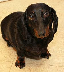 Roscoe is an adoptable Dachshund Dog in Howell, MI. Hello! I'm Roscoe! I'm a 2 year old purebred Dachshund who was transferred from another shelter. I was surrendered there by my family but no reason ...