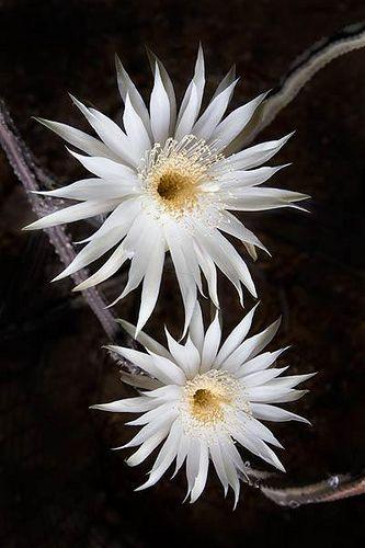 Queen of the night night blooming cereus pinterest night night queen of the night night blooming cereus once a year after a few weeks of 100 fahrenheit 40 celcius heat the night blooming cereus cactuses bloom mightylinksfo