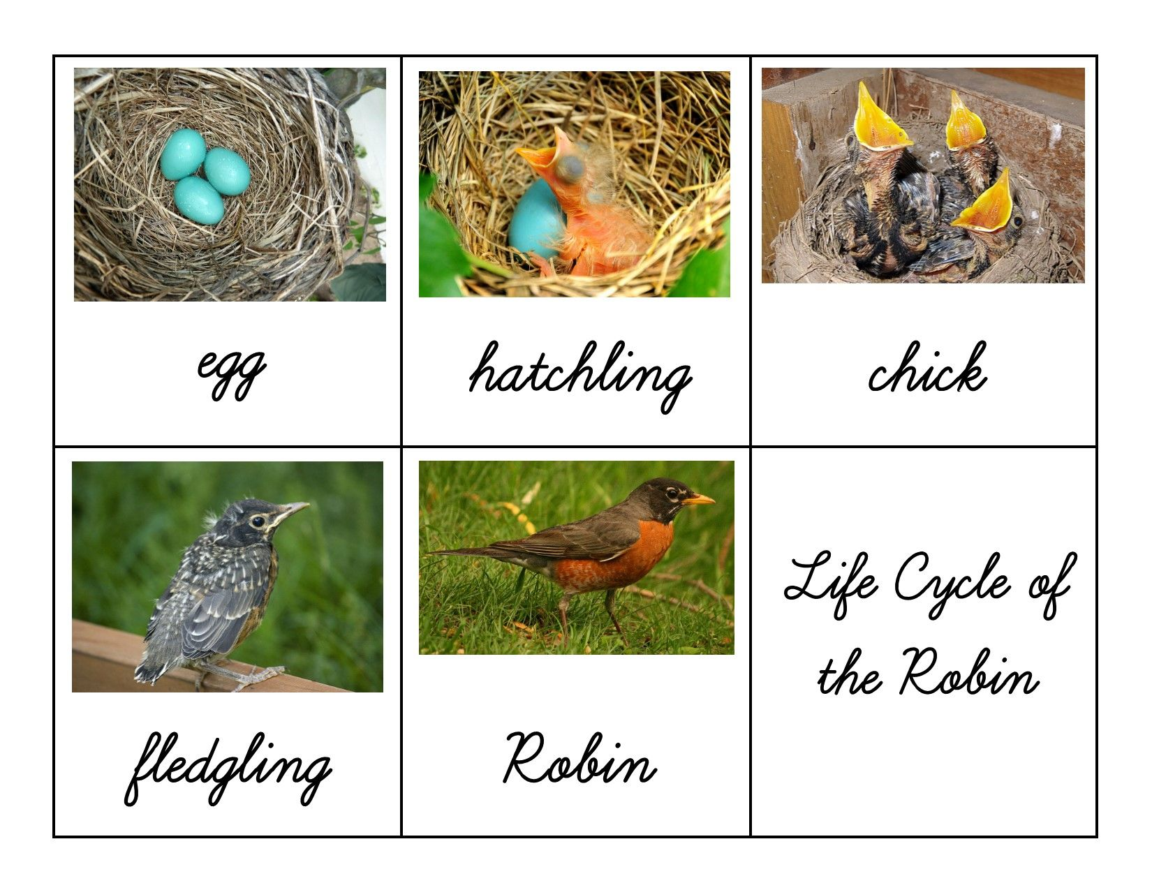 Free Printable – Life Cycle of the Robin | Montessori, Kindergarten ...
