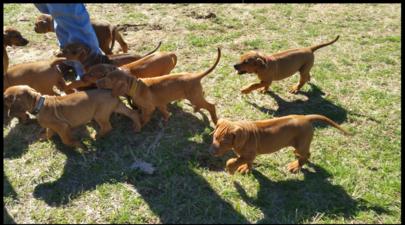 Akc Rhodesian Ridgeback Puppies Super Healthy Beautiful Confirmation Sweet Temperament Well Soci Rhodesian Ridgeback Puppies Rhodesian Ridgeback Dog Heaven