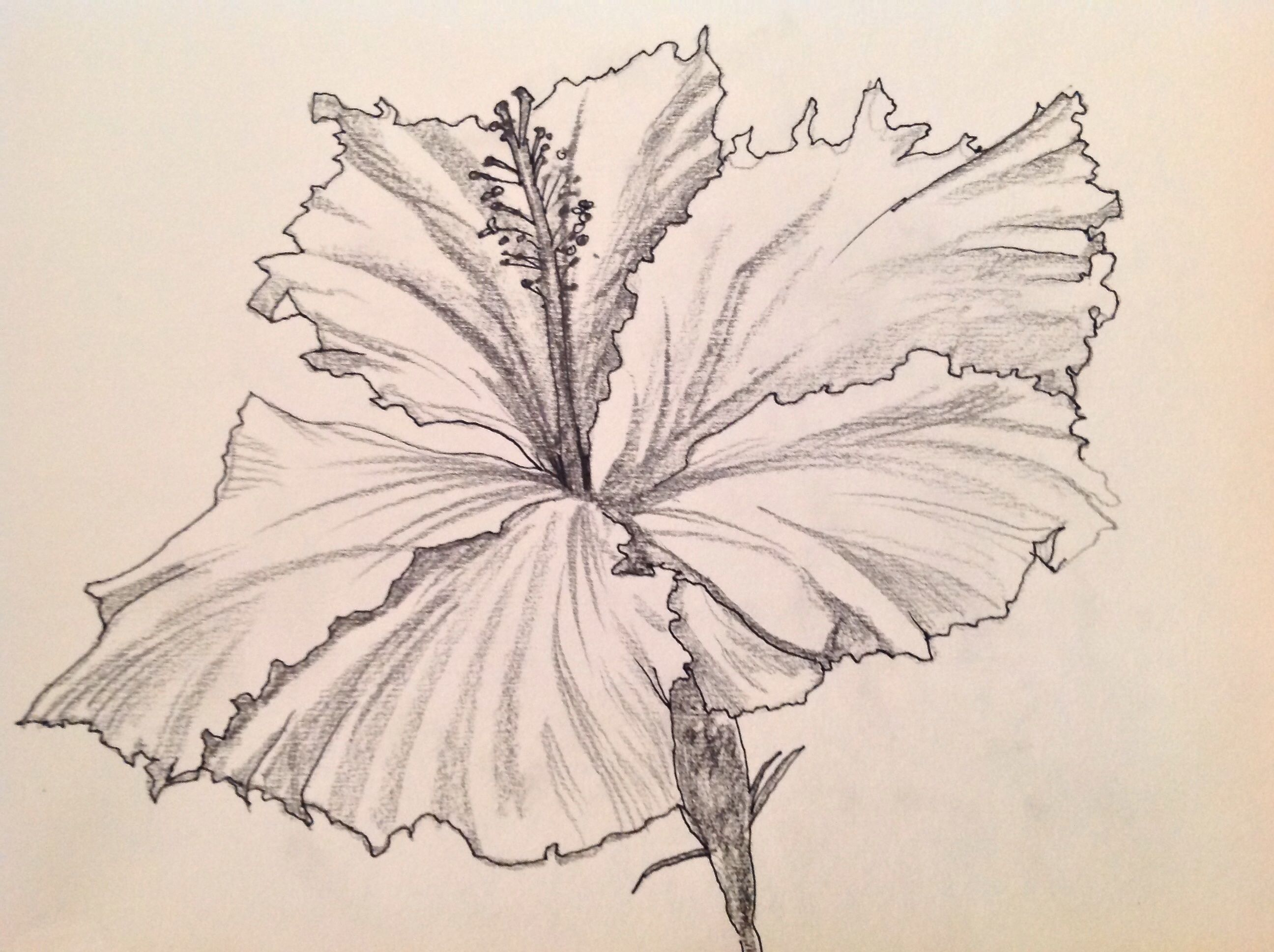 Hibiscus Drawing  Free Download Clip Art  Free Clip Art  On