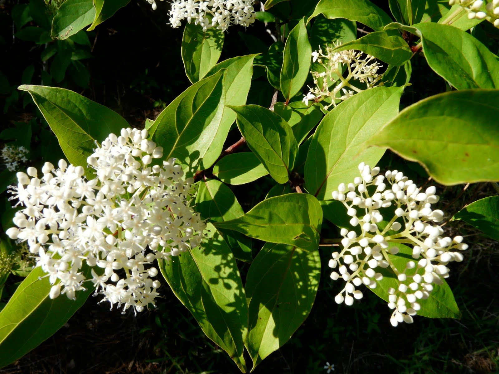 Swamp dogwood florida blooms pinterest white flowering trees swamp dogwood florida mightylinksfo