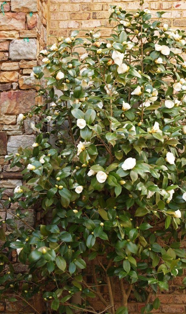 Nuccio S Gem Camellia Google Search Camellia White Gardens Camelia Tree