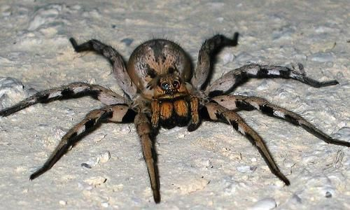 Michigan Wolf Spider Poisonous Spiders Brazilian Wandering Spider Spiders Scary