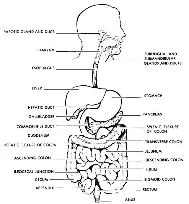 Digestive System Diagram with Labels Luxury Aisbiology