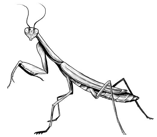 Praying Mantis Tattoos And Praying Mantis Drawings Sketches And