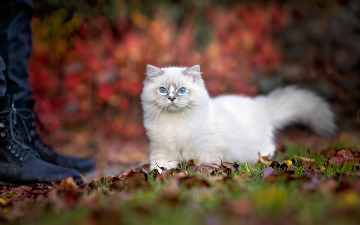 Download Wallpapers Ragdoll Fgegt Blue Eyes Kittens Cats Besthqwallpapers Com Yeux Bleus Animaux Chat