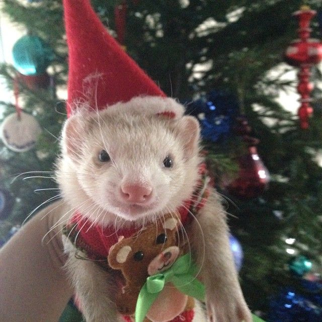 Christmas Ferret.It S Been So Long Since I Had A Baby Ferret But How Do You
