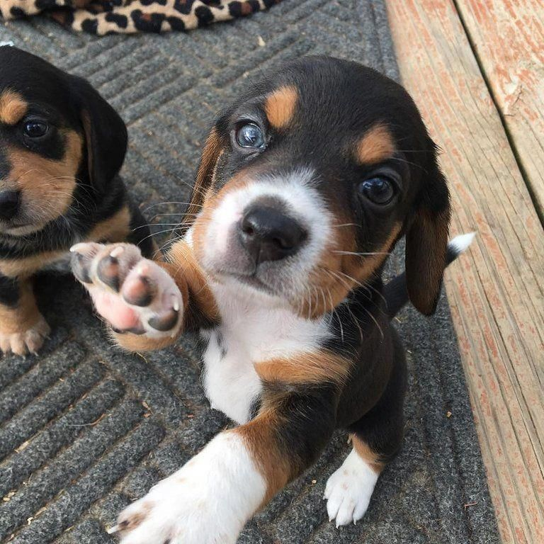 Beagle Facts Mascotas Puppies Kitties Beagle Puppy Cute Puppies