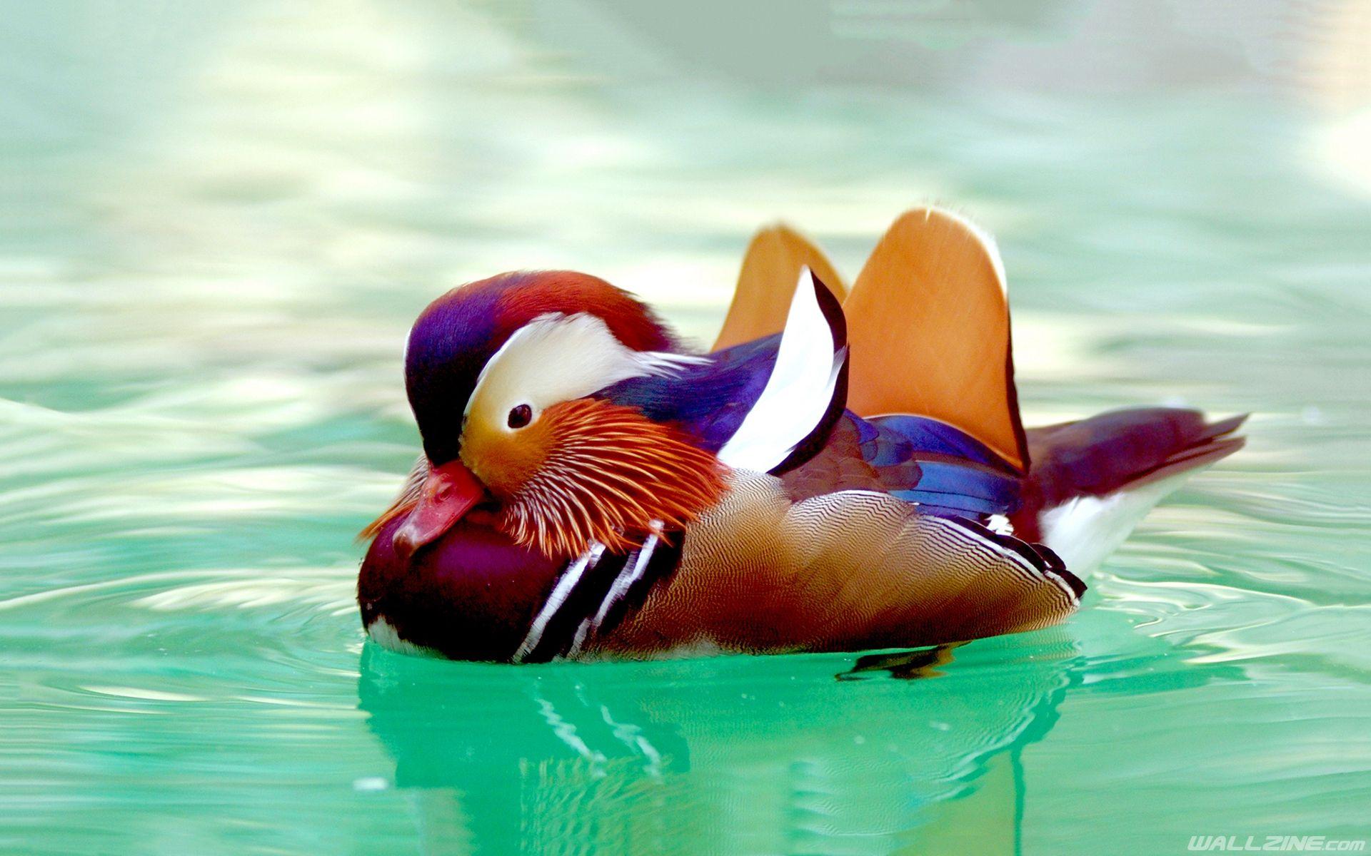 62dee95d7a982633020a582afc1189e1 - How To Get Rid Of Ducks On Your Dock