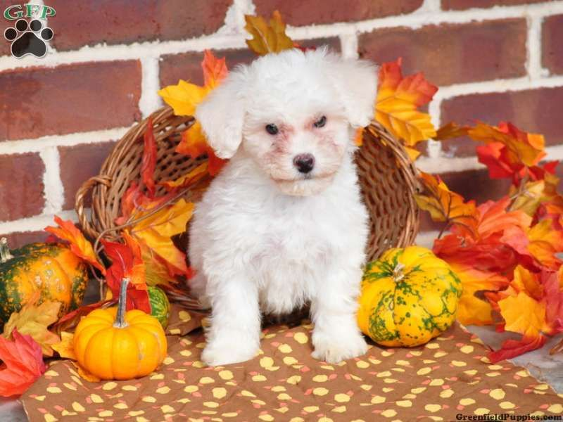 Caleb Bichon Frise Puppy For Sale From Paradise Pa Bichon Frise Puppy Furry Friend Puppies For Sale