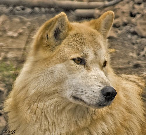 Light Colored Wolf