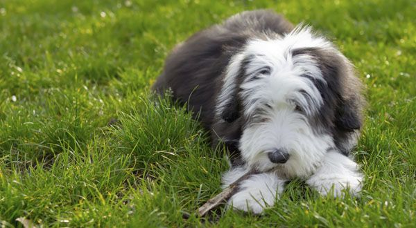 Purebred Star Bearded Collie Bearded Collie Dog Breeds