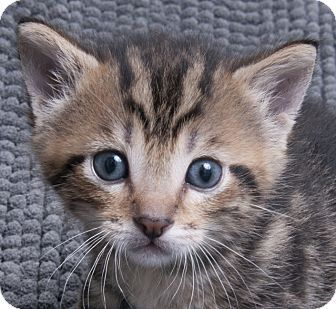Chicago, IL Domestic Shorthair. Meet Billy, a kitten for
