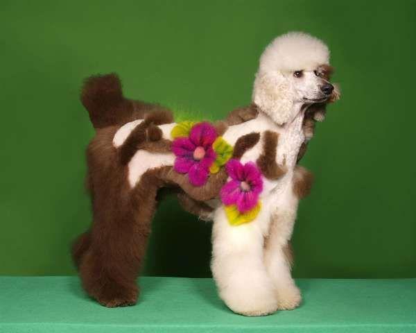 Special Grooming Hundehaarschnitte Pudel Haarschnitt Hundepflege