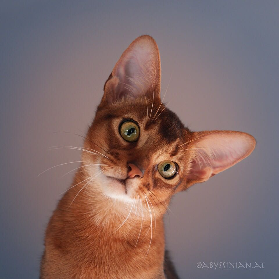Wow So You Are All Looking Much Funnier Luckyan Amberamulett Superaby Family Aby Abyssinian Ab Abyssinian Cats Cat Breeds Beautiful Cat Breeds