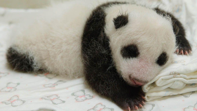 oso panda está en peligro crítico de extinción; la especie está muy localizada. Con 1.600 viviendo en las selvas y 188 en cautiverio, reportes demuestran que la cifra de pandas viviendo en libertad va en aumento.