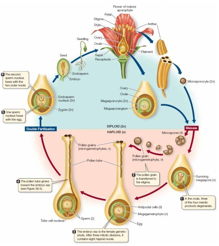 The life cycle of angiosperm | Learn Science at Scitable ...