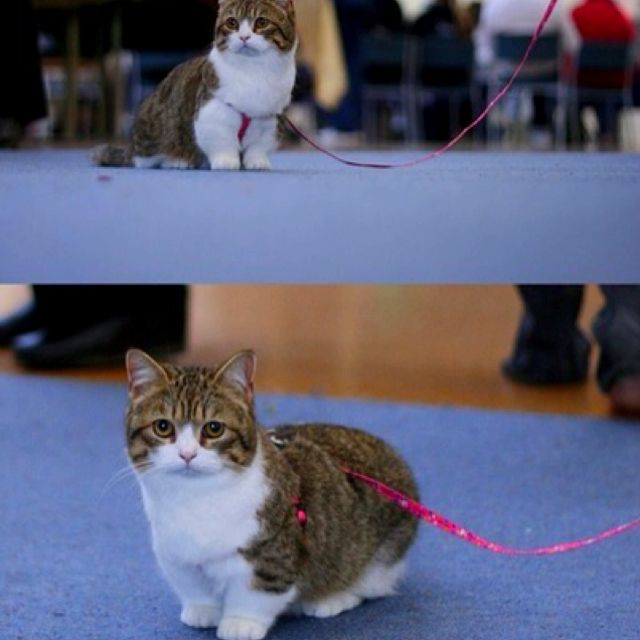Dwarf cat, these are so cute! | wants | Pinterest | Cats ...