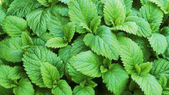 16 Herbs You Can Grow Indoors All Year Long Lemon Balm 400 x 300