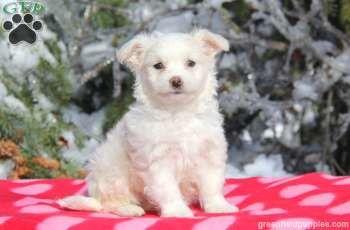 Snowflake Coton De Tulear Puppy For Sale In Pennsylvania Coton
