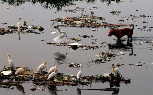 Stray Red Dog & Herons on the dirt-littered River Brahmaputra in Gauhati, India