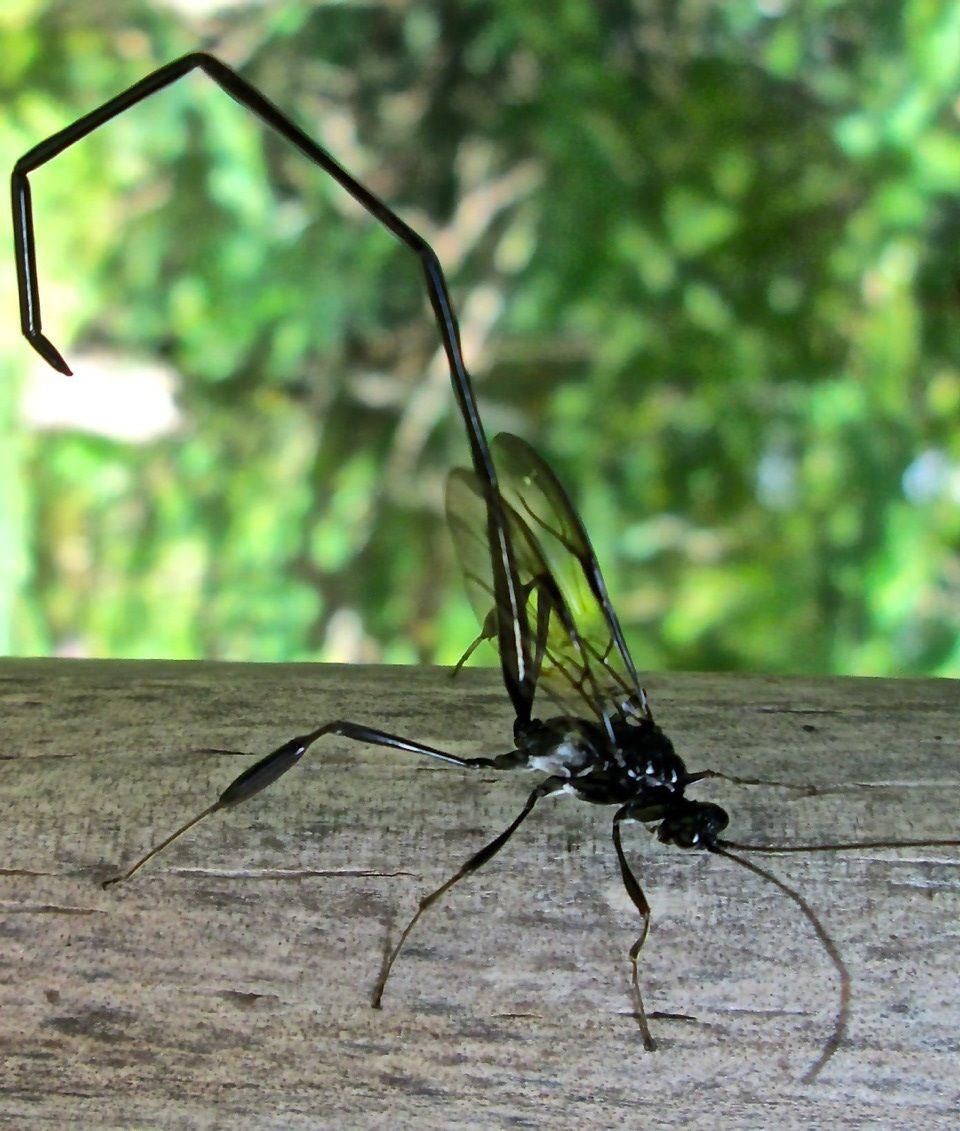 American Pelecinid Wasp