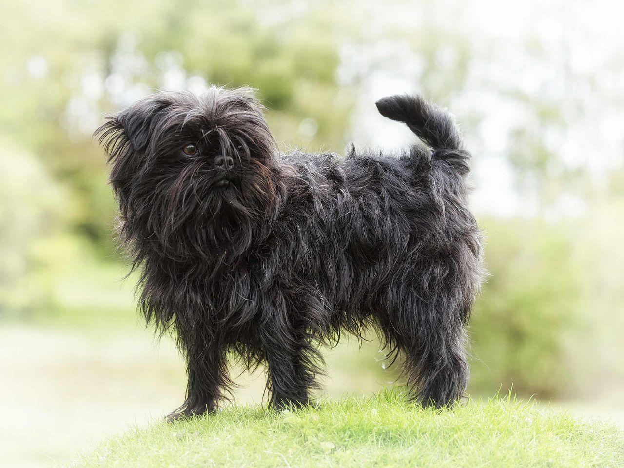 Affenpinscher In 2020 Affenpinscher Dog Cute Small Dogs Dog Breeds