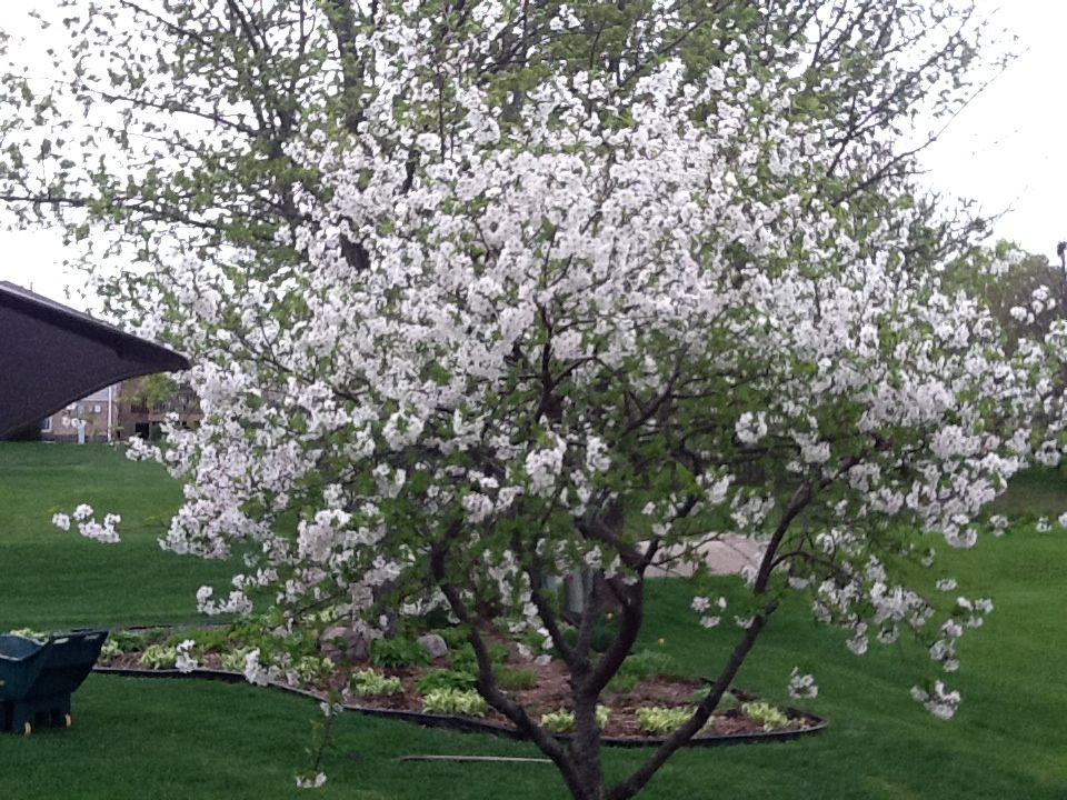 Montmorency Cherry Tree In Bloom Sour Cherries 2013 Montmorency Cherry Sour Cherry Tree Orchard Garden