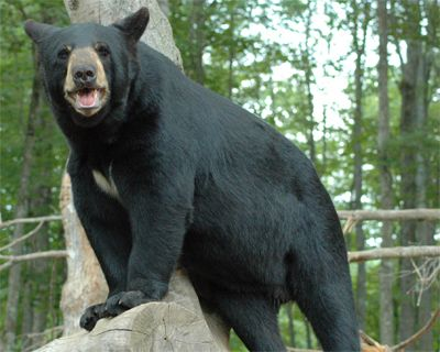 Oswald S Bear Ranch Great Upper Michigan Attractions Bear Ranch Upper Peninsula Michigan Michigan