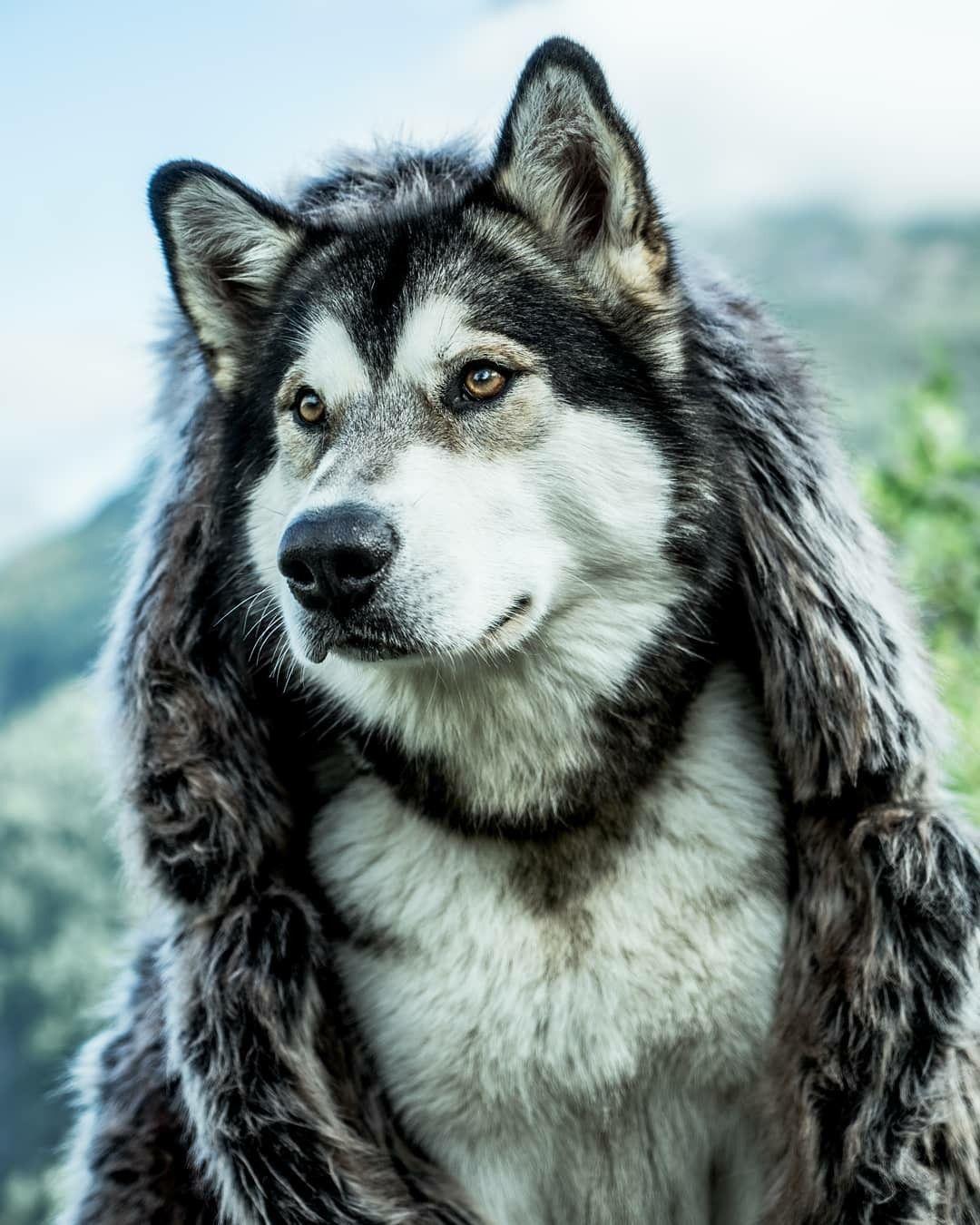 Fenris the Vikingdog Dogs, Wolf dog, Animals beautiful