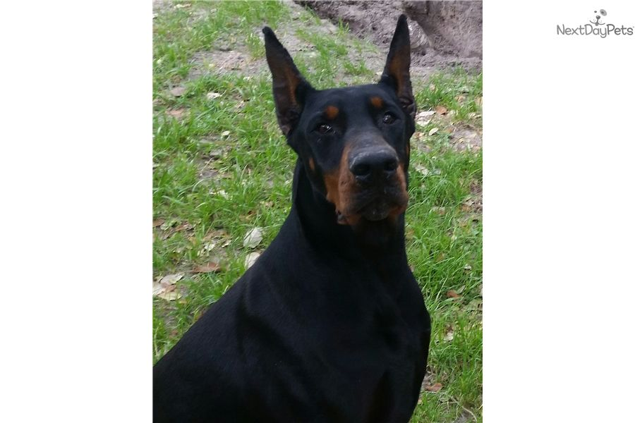 Doberman Puppies For Sale In Corpus Christi Texas References