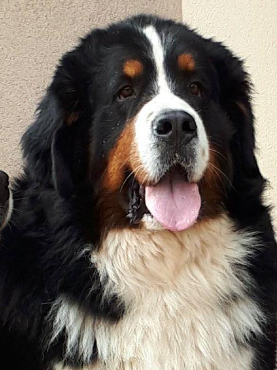 Untitled | Giant dog breeds, Mountain dogs, Burnese ...