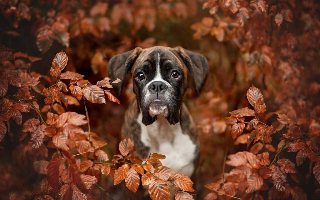 Boxer Dog Outdoor Puppy Wallpaper Boxer Dogs Boxer Dogs Funny Dogs