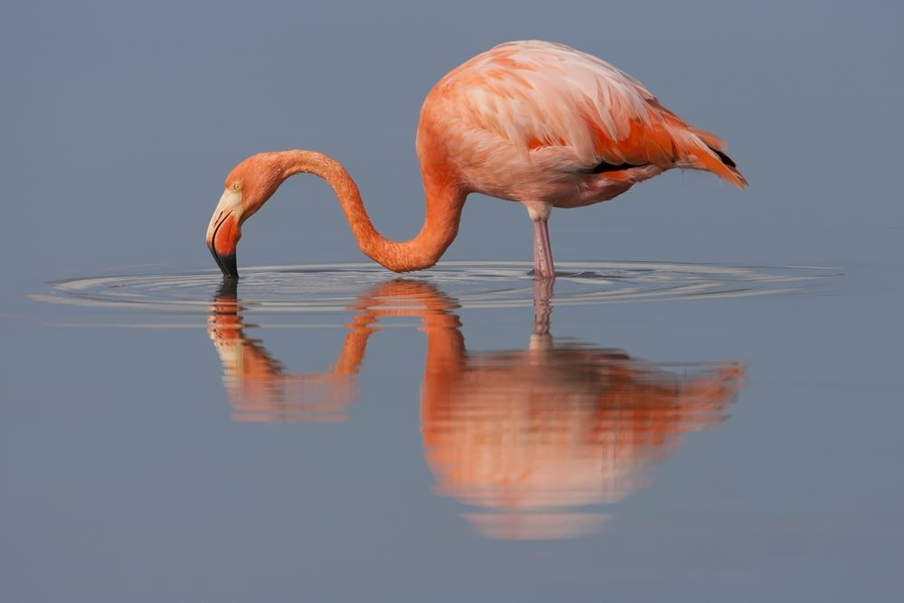 Pink flamingo drinking water from a still galapagos pond places i pink flamingo drinking water from a still galapagos pond fandeluxe Gallery