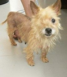 Adopt Splinter On Cairn Terrier Dogs Rescue Dogs