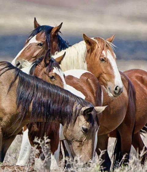 Wild horses Nevada.
