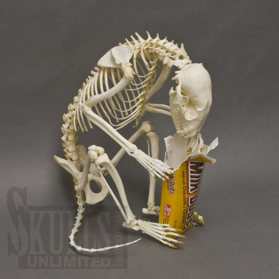 Fully Articulated Raccoon Skeleton From Skulls Unlimited Animal