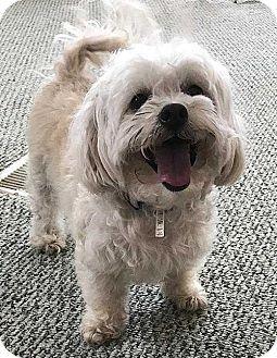 Sarasota Fl Shih Tzu Poodle Miniature Mix Meet Hulk A Dog