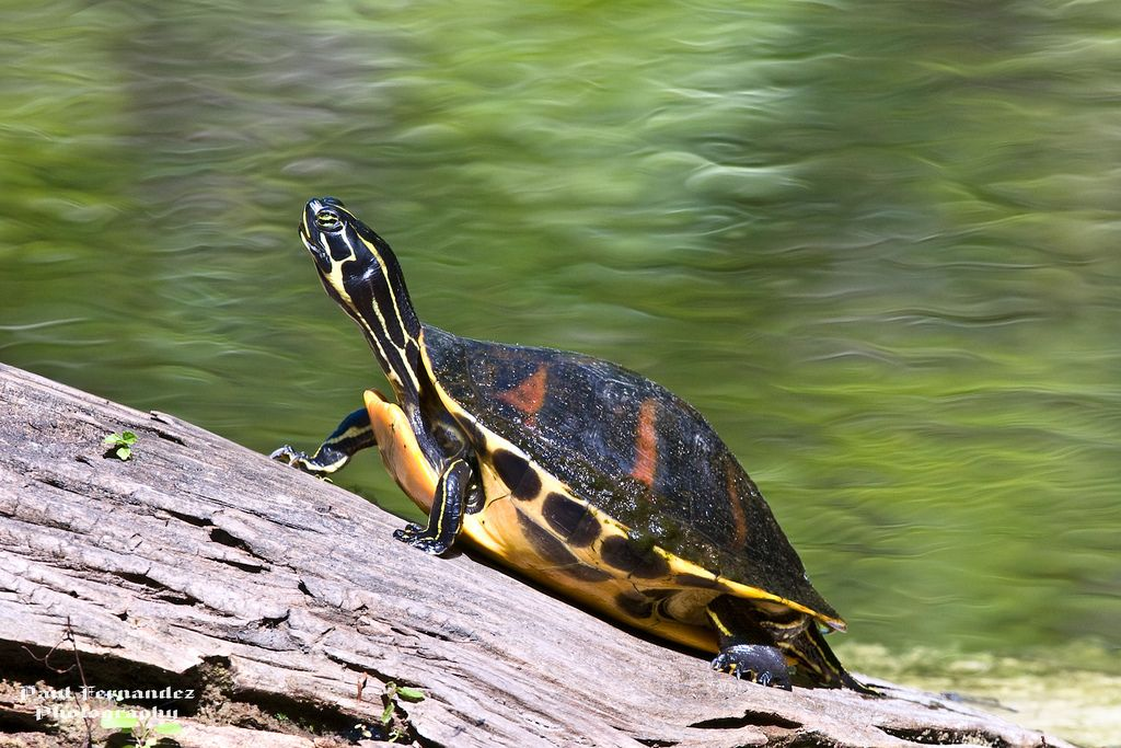 Red Bellied Turtle At Six Mile Cypress Preserve Florida Turtle