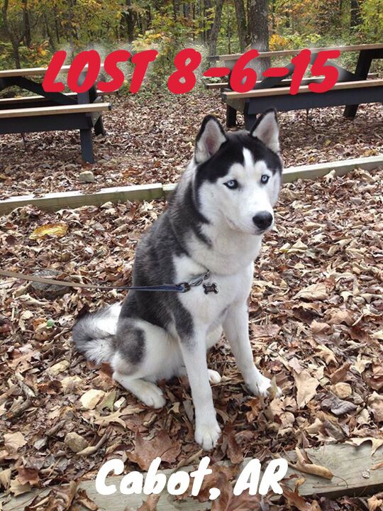 Lostdog 8 6 15 Zeus Cabot Ar Siberianhusky M Blue Eyes Bekah