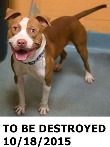 GONE 10-18-2015  ---Brooklyn Center  My name is TRAPPY. My Animal ID # is A1054278. I am a male tan and white pit bull mix. The shelter thinks I am about 2 YEARS  I came in the shelter as a OWNER SUR on 10/09/2015 from NY 11106, owner surrender reason stated was NEW BABY. http://nycdogs.urgentpodr.org/trappy-a1054278/