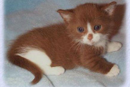 Munchkin Kitten Kittens Cutest Munchkin Cat Munchkin Kitten