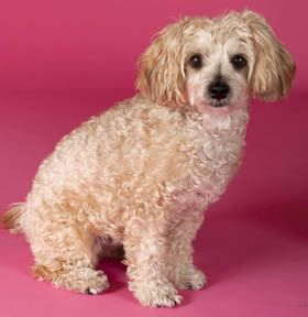 Adopt Ruby On Terrier Poodle Mix Poodle Mix Dogs Poodle Mix