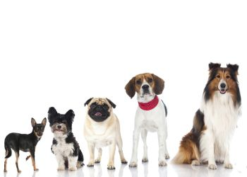5 Common Diseases In Small Medium Dogs Dog Breeds Smartest Dog Breeds What Dogs