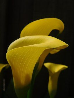 Lily, Calla Lily, Flower, Yellow