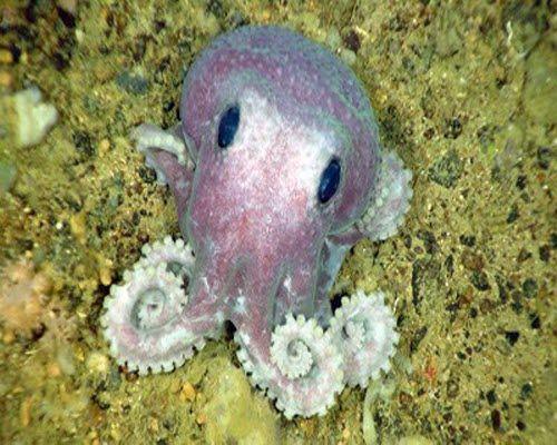 wolfi+octopus | Smallest Octopus Species