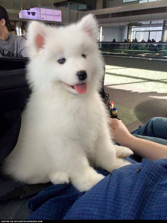 New Little Samoyed Puppy Just Barely Over 8 Weeks Old Looks Like A